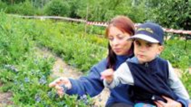 MUSTIKAD MUGAVALT KÄTTE: Kultuurmustikate korjamiseks ei pea mööda metsi trampima, nad ei määri suud ja kooki küpsetades ei muutu sodiks. Nelja-aastasele Markusele maitsevad mustikad niisama hästi kui tema emale Piret Paabuskile.