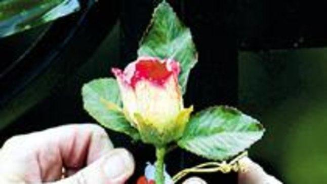 PRINTSESSI MÄLESTUSEKS: Viie aasta eest hukkunud 36aastase Diana elukoha, Kensingtoni palee juurde Londonis toodi eile taas roose.