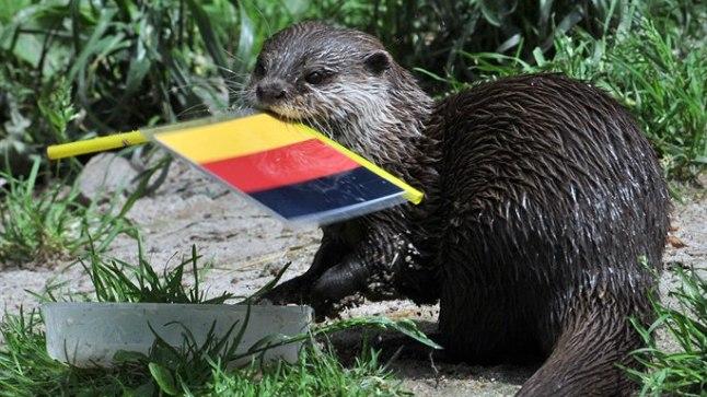 SUPERSAARMAS: Aue loomaaias töötav saarmas Ferret on seni ennustanud õigesti mõlemad Saksamaa võidud. Kui Saksamaa alistab homme Taani, jätkab Ferret 100% eduga.