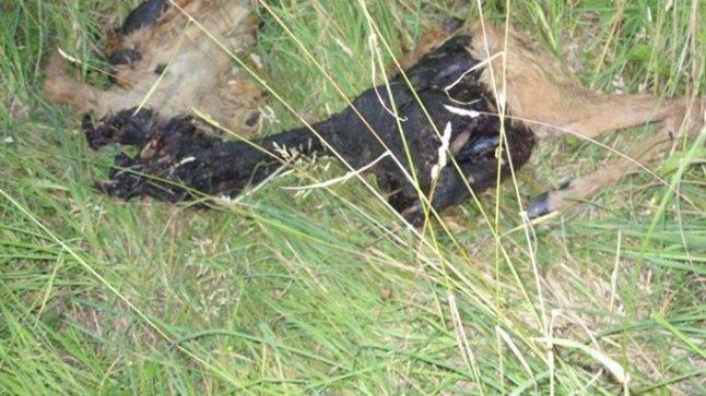 Eesti Loomakaitse Seltsile (ELS) saabus 19. juuli hilisõhtul teade Tartu kesklinna lähistel leitud metskitse korjusest, mis oli tükeldatud ning põletamisjälgedega.