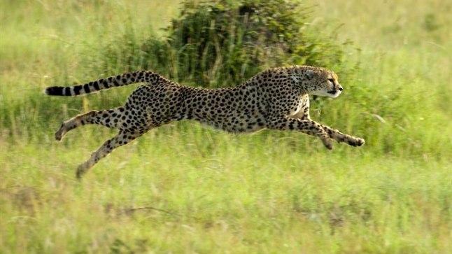 GEPARD: 100 meetri jooksus kaks korda kiirem kui imesprinter Usain Bolt. NB! Nullist sajani kiirendab see loom kahe-kolme sekundiga.