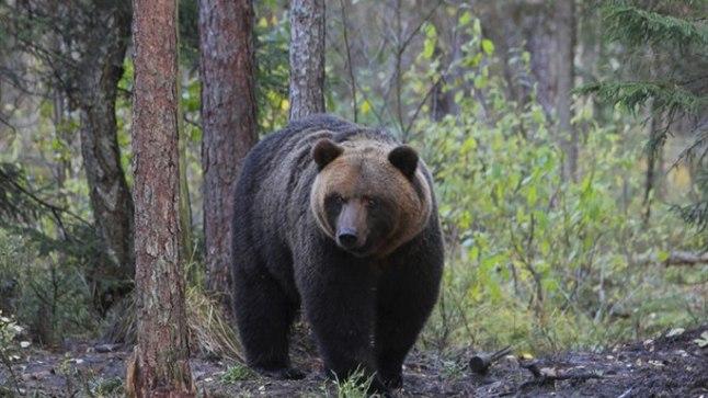 TULEB? EI TULE?:Karuvaatluse hooaeg on mais-juunis ja septembris-oktoobris. Kõige suurem tõenäosus mõmmit näha on õhtuhämaruses ja päikesetõusul, sest just siis on päntjalgadel tegus aeg.