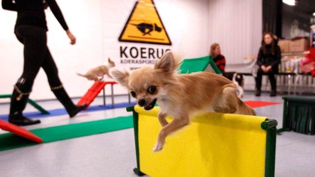 HOPSTI! Chihuahua Ziara ületab takistuse raskusteta.