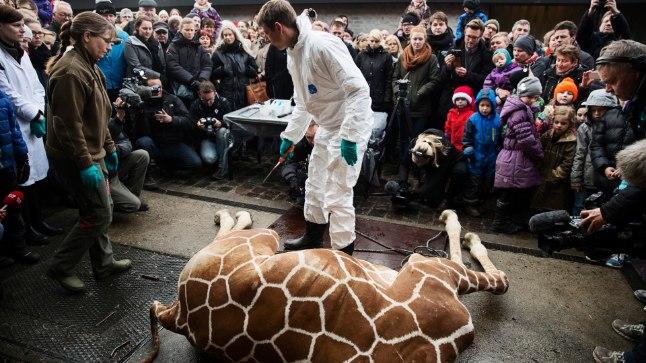 Enne tükeldamist tapeti Marius lasuga pähe. Lihunikutöö viidi läbi loomaia külastajate silme all. Pealtvaatajate hulgas oli ka palju lapsi.