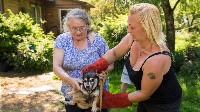VIIB VARJUPAIKA: Tädi Leida sai pika otsimise peale kätte ühe oma paljudest koeradest ja annab ta üle loomade varjupaiga töötajale. Seitse koera tõi proua varem ise varjupaika. Kokku on ta loovutanud 21 koera, kes saavad praegu varjupaigas vajalikke raviprotseduure.