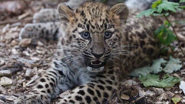 Tallinna loomaaia amuuri leopardi kutsikad