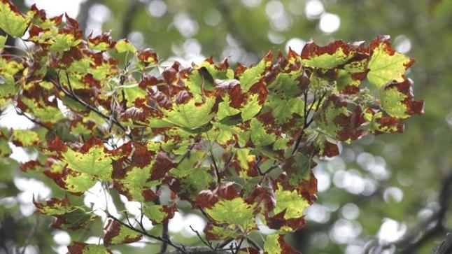 KOITANUD PUUD: Imepisikesed koiliblikad on rikkunud suure osa Tallinna südalinna puudest. Pildid Falgi tee vahtrad.