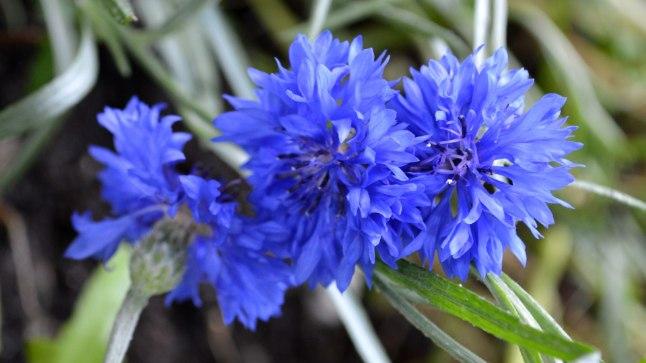 Blogi autori aias kasvavad rukkililled.
