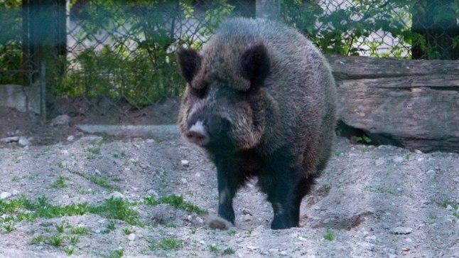 Metssiga Tallinna loomaaias