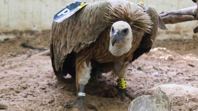 Õnnetu raisakotkas võeti spiooni pähe kinni.  Lind on tagasi Iisraelis ja Ramat Gani loomaaia veterinaaride hoole all