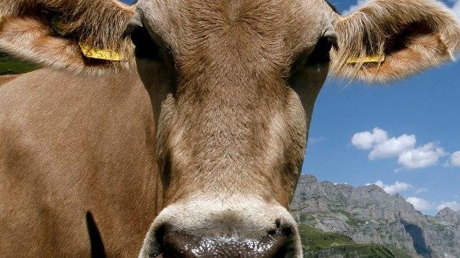 19aastane nooruk vägistas lehma.