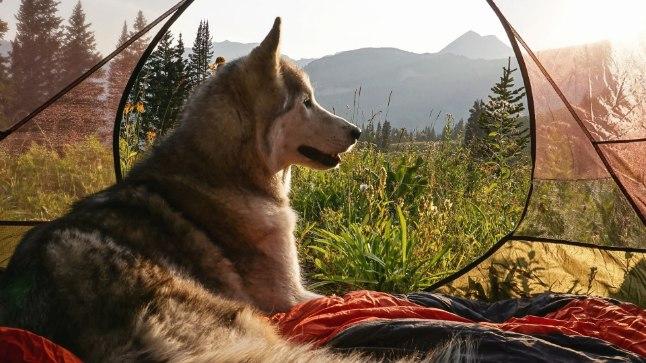 Siberi husky, malamuudi ja arktilise hundi segu Loki armastab looduses ringi hulkumist, kuid  vahetevahel on hea ka niisama puhata.