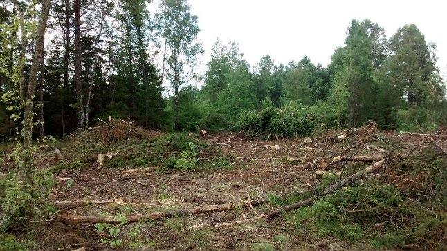 HUKKUS: Raietööde käigus võeti konnakotka koduks olnud puu maha ja linnupoeg sai hukka.