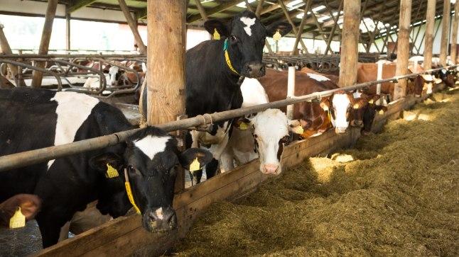 <font color=&quot;#d30008&quot;>Moodsa suurlauda lehm päikest ei näe ja rohtu ei söö!</font> Kuidas jõuab piim joogiklaasi?