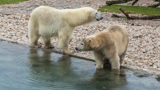 Jääkarudel on siiani veel uute tingimustega kohanemise aeg.