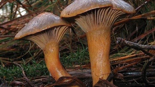 Männiliimik kasvab männikutes ja männi-segametsades, eriti noorendikes. Enamasti kasvab seen üksikult, kuid lubjarikkal pinnasel võib neid leida ka rühmiti.