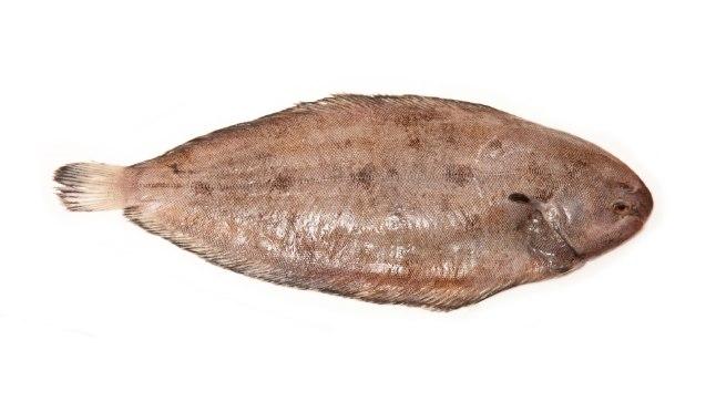 Merikeel on öise eluviisiga põhjakala