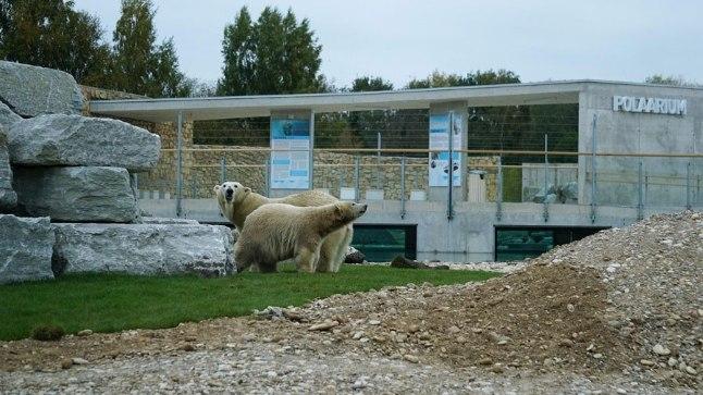 Tallinna Loomaaia jääkarud Friida ja Aron uue kodu õuel.