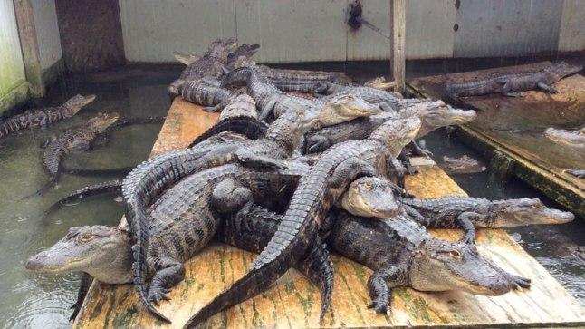 Alligaatorifarmi asukad: neist isenditest saab paraku kellegi eine või uhke käekott.