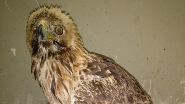 Maaülikoolis neli kuud ravitud Eesti vanim kaljukotkas lendas sel nädalal tagasi loodusesse. Eesti maaülikool