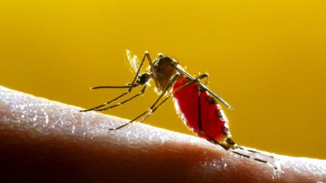 HAIGUSTE LEVITAJA: Metsasääsk Aedes aegypti külvab troopilistes ja subtroopilistes maades, kus eestlasedki meelsasti puhkamas käivad, Zika- ja Chikungunya viirust, kolla- ning dengepalavikku. Biotehnoloogiafirma Oxitec on aga muundanud selle liigi isasääski nii, et nende järglased surevad enne suguküpseks saamist.