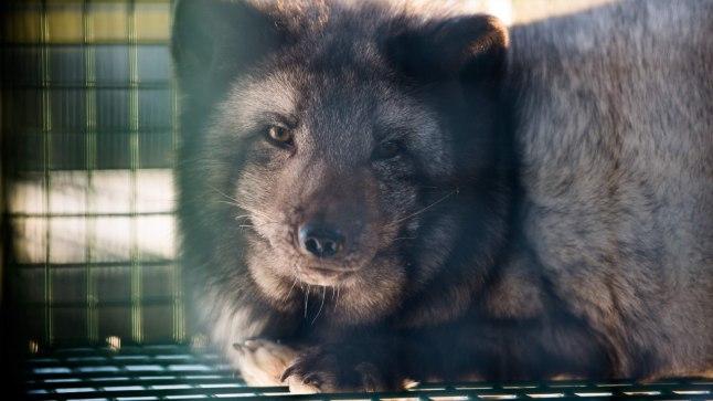 SEADUSLIK VANG: Karusloomade eluiga on farmides lühike. See kauni kasukaga rebane ei jõudnudki ära oodata, millal riigikogulased hakkavad arutama tema kaitseks esitatud pöördumist.