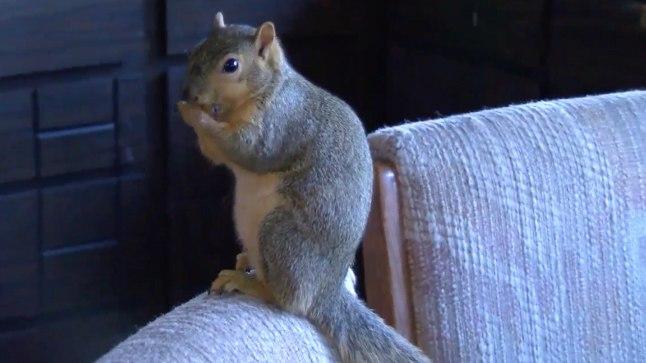 Vapper orav nimega Joey ründas sissemurdnud varast ning tänu tema tekitatud kriimustustele tabati koheselt ka varas!