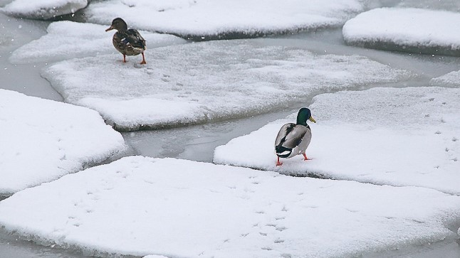 ILM ON HUKAS: Pardipaar jalutas eile nukralt Tallinna lahe kaldajääle sadavas lumes, justkui imestades, mida kõike lähenev kevad kaasa ei too.