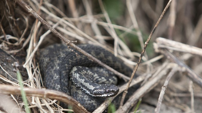 HAKKAB ÄRKAMA: Vanarahva arvates keeravad maod ja putukad täna teise külje.