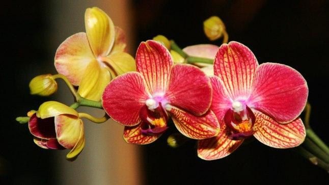 Meie botaanikaaedades puhkevad orhideed igal aastal rikkalikult õitsema just märtsi algul.