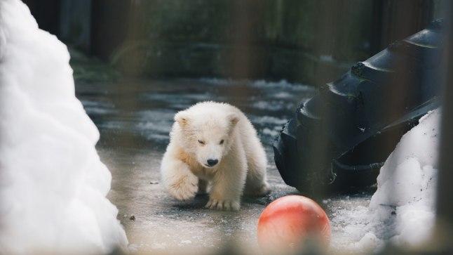 Loomaaia jääkarupoeg Aron