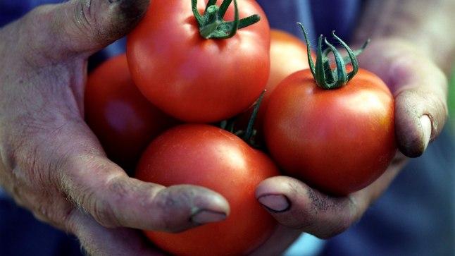 Hoia tomateid kahjurite eest.