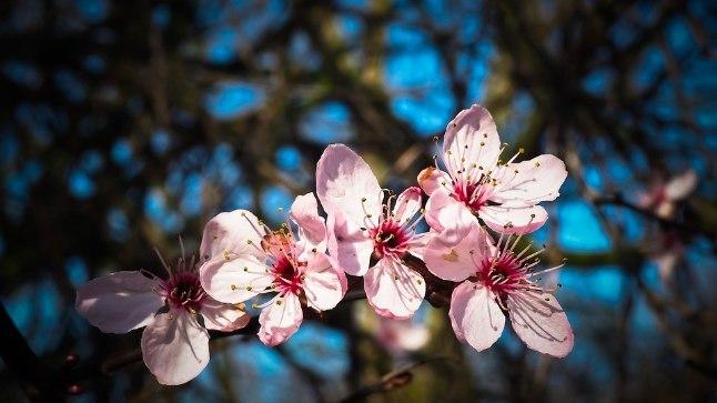 Suvel, kohe pärast õitsemist, lõigatakse eelmise aasta võrseid aga neil põõsastel, mis õitsevad kevadel ja suvel.