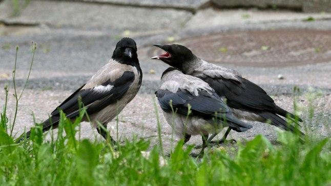 KAITSEB POEGI? Tavaliselt rahumeelsed linnud kipuvad inimestele kallale järglaste kaitseks. Pilt on illustratiivne.