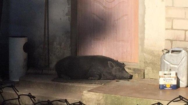 FOTO | Pääsküla imeline majavalvur sigakoer!