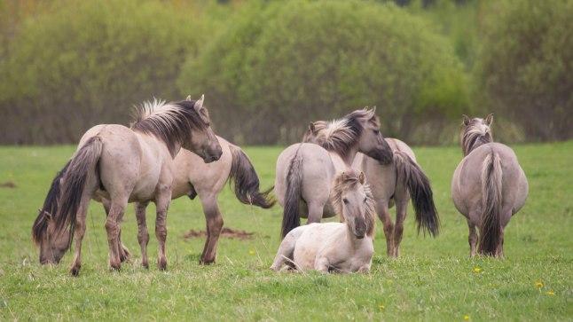 Vabapidamisel: Poolmetsikud hobused ei vaja lisasöötmist, kui talveks jääb hein piisavalt kõrge.