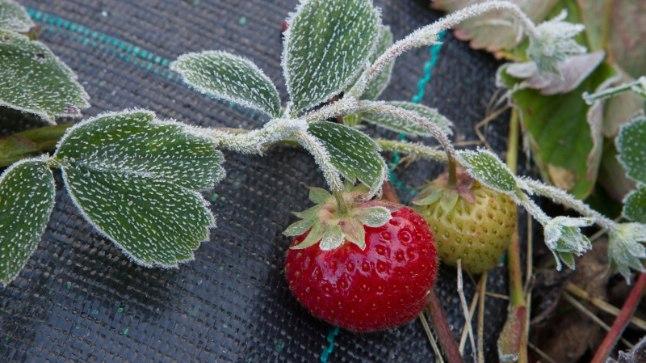Härmas maasikad