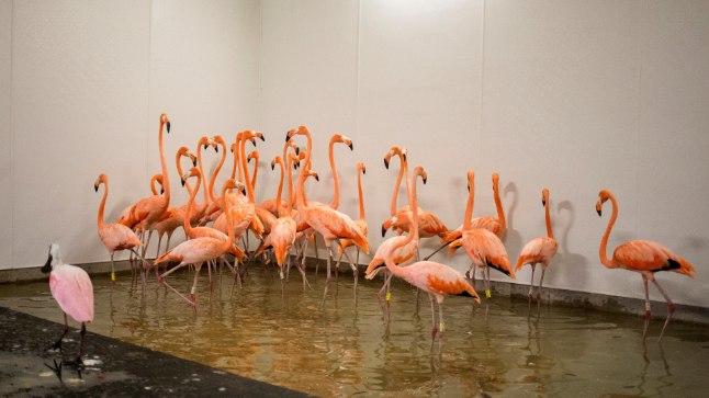 Miami loomaaia flamingod orkaan Irma ajal