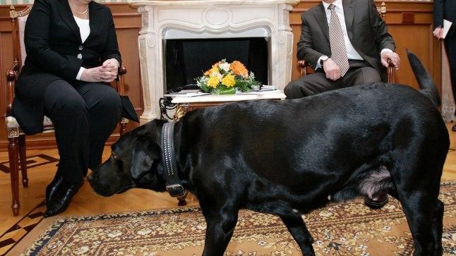 Vladimir Putin võttis 21. jaanuaril 2007 Sotšis labradori tõugu Koni kohtumisele Angela Merkeliga kaasa. Saksa kvaliteetlehe FAZ arvates soovis Putin nõnda Merkelit mõjutada, sest teadis, et pureda saanud naine kardab paaniliselt koeri.
