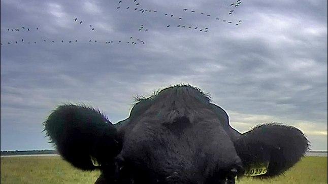 SÜÜDIMATU: Juhtme ära nätsutanud lehm ei häbenenud oma plaane ja patseeris veel enne hävitustööd kaamerasilma ees.