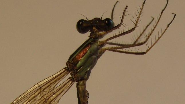Eesti uustulnuk - lõunakõrsik (Lestes barbarus)