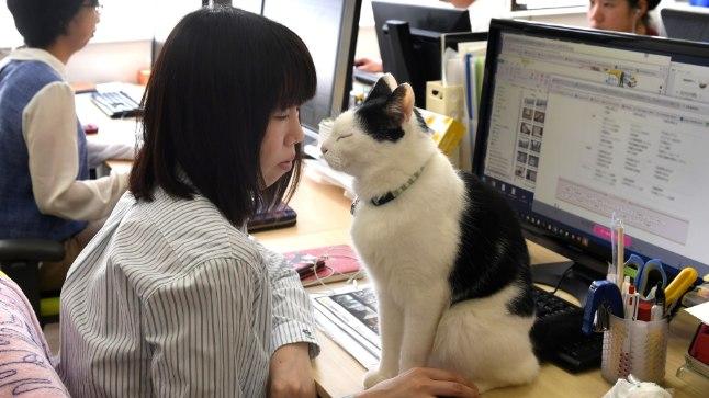 Jaapanis käivad mõned kassid ka tööl
