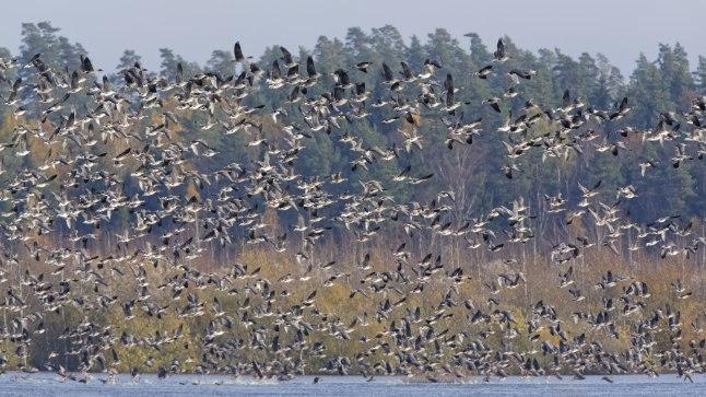 SILMADE EES LÄHEB MUSTAKS: Oktoobris saab rannikualadel vaadelda hiiglaslikke rändlinnuparvi.