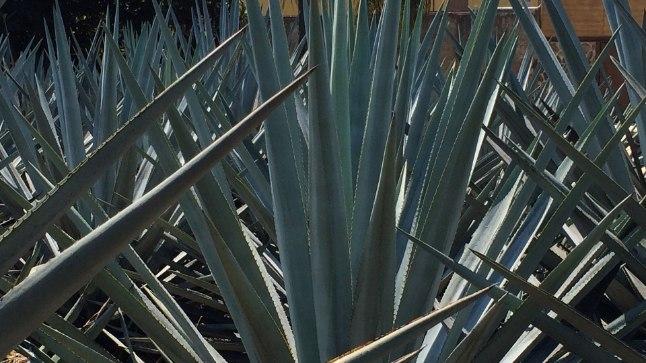 Tekiila tooraine sinise agaavi kasvatamine Mehhikos.