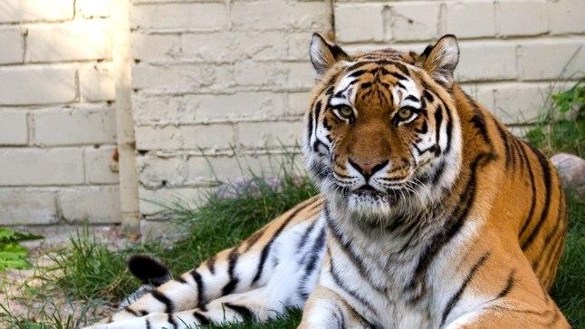 MÄNGUHIMULINE: Amuuri tiiger Piiga oli kuni elu lõpuni igast asjast huvitunud ja tahtis mängida.