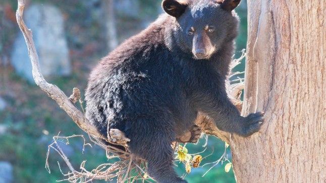 Inimeste maiustega harjunud karu võib kurjaks minna!