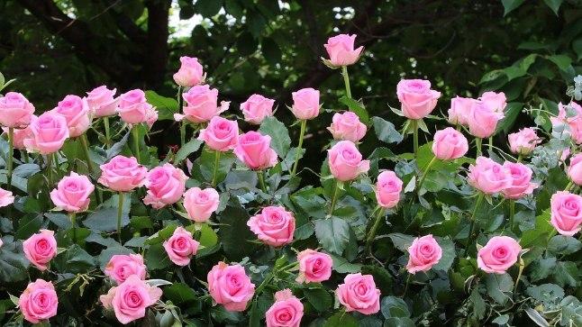 Head nipid, et sinu roosid aias hästi kasvaksid!