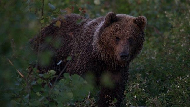 TEISTMOODI METSSIGA? Fotograaf Peeter Karask ei osanud karuga kohtumisele isegi mõelda: kuulnud põõsast krabinat, arvas ta, et kohe õnnestub tal pildile saada metssiga.