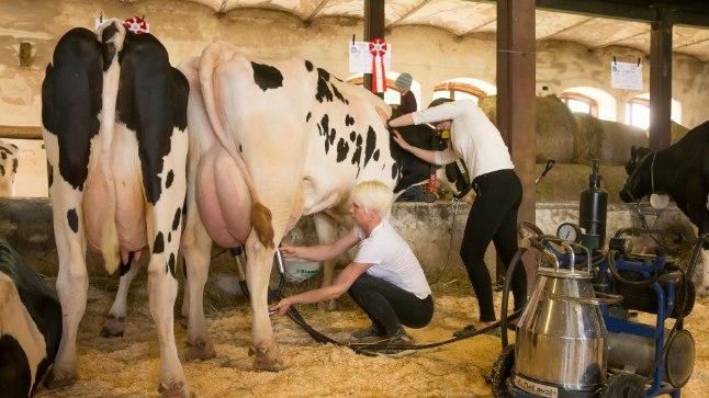 KORRA PÄEVAS: Katrini sõnul jalutavad lehmad neli-viis korda päevas ise lüpsimasina alla, kuid erandkorras tuli neid lüpsta portatiivse seadmega.