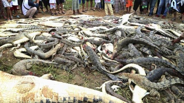 TAPATALGUD Külaelanikud tapsid krokodillifarmis kõik 292 krokodilli.